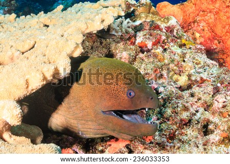Giant Moray Eel hiding amongst hard corals on a tropical reef