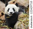 Giant panda bear eating bamboo shoots - stock photo