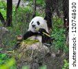 Giant panda bear enjoys eating bamboo with eyes closed - stock photo
