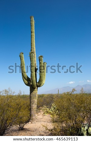 Giant saguaro cactus with flowers on the outskirts of Tucson, Arizona in the Sonoran Desert within the Saguaro National Park.