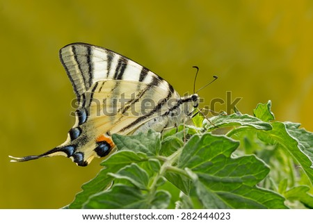 giant Swallowtail butterfly (Papilionidae) on green plant