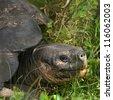 Giant tortoise, Santa Cruz Island, Galapagos Islands, Ecuador - stock photo