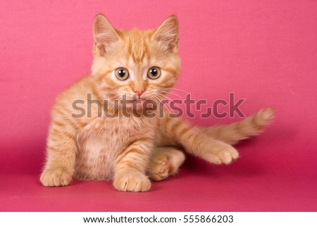 Ginger kitten British cat on a red background