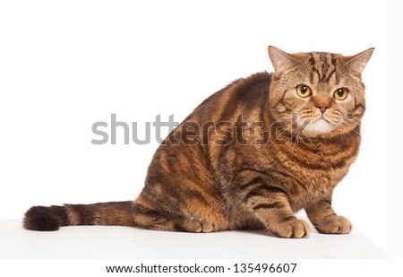 ginger striped cat sitting over background