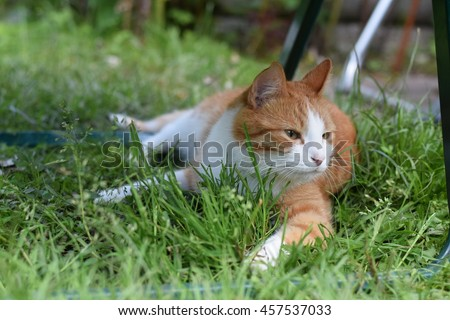 Ginger with white spots home cat playing outside in the grass at green home garden