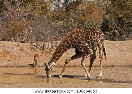 Giraffe and Impala enjoying a cool drink at a waterhole.
