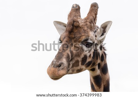 Giraffe close up head portrait isolated from white background