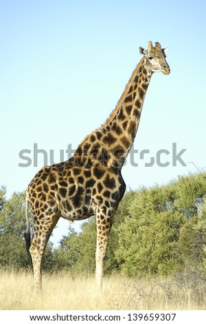 Giraffe, Franklin Nature Reserve on Naval Hill in Bloemfontein, South Africa