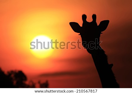 Giraffe (Giraffa camelopardalis) silhouette during sunset on the Maasai Mara National Reserve safari in southwestern Kenya.
