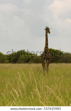 giraffe in the bush at sunset against the sky   in the National Park Park, Namibia, South Africa