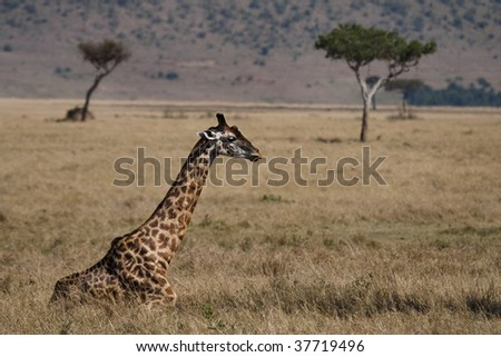 Giraffe resting its long legs in front of the Oloololo Escarpment