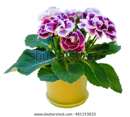 Gloxinia plant with violet-white flowers in flowerpot isolated on white
