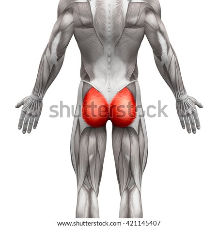 Gluteus Maximus - Anatomy Muscles isolated on white - 3D illustration