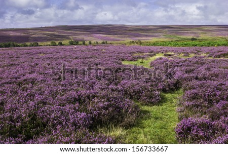 Goathland, Yorkshire, UK. Heather in bloom over the rugged North York Moors National Park near Goathland, Yorkshire, UK.