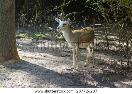 Goitered or black-tailed gazelle (Gazella subgutturosa) in a forest