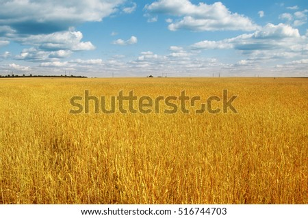 Gold wheat field and blue sky with clouds