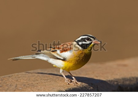 Golden-breasted bunting; Emberiza flaviventris