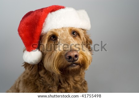 Golden doodle poses with a santa hat on gray background looking hopeful