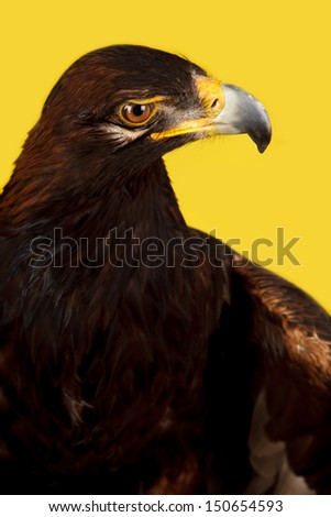 Golden Eagle shoot in studio, yellow background