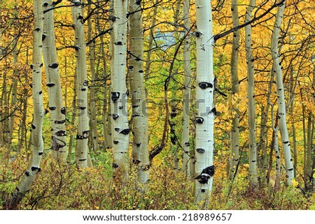 Golden fall aspens in the Utah mountains, USA.