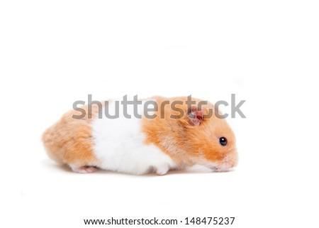 Golden hamster white - photo#16