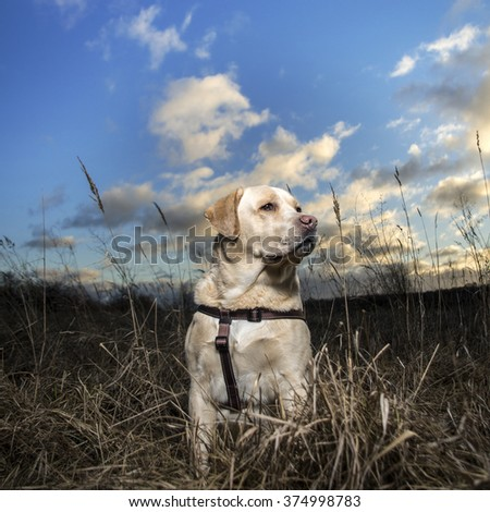 Golden Labrador retriever dog looking proudly. Nature and blue sky background. Dog wearing harnesses