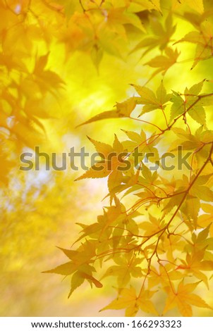 Golden leaves of japanese maple tree and abstract autumnal background