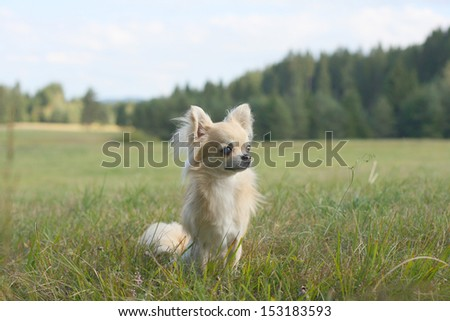 Golden longhair chihuahua sitting in a meadow in the woods