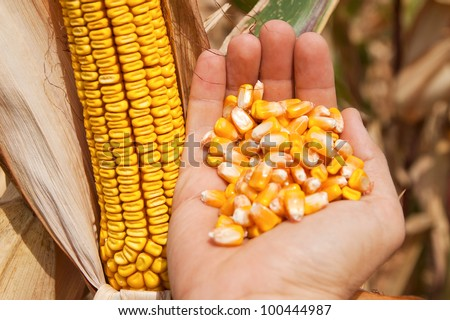 golden maize in hand over field