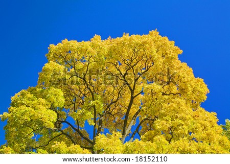 golden maple branches on blue sky background