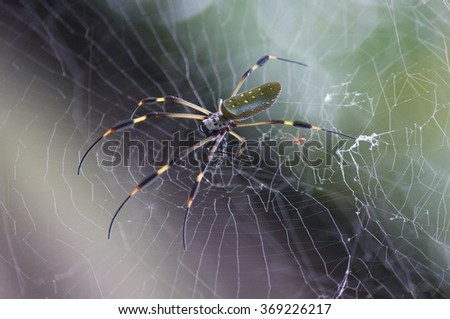 Golden Orb Spider on web, photographed in Tortuguero National Park, Costa Rica