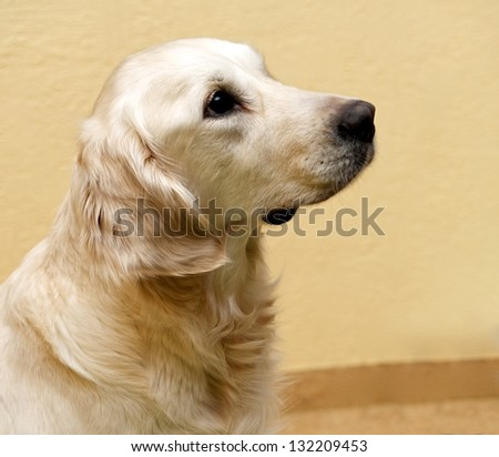 Golden Retriever looking curious sitting on isolated yellow natural background at home, head of Golden Retriever, domestic dog, sweet Golden Retriever, mans friend