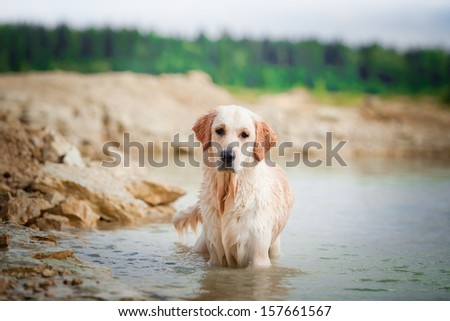 Golden retriever on the beach near the water