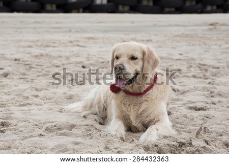 Golden retriever playing in the sand