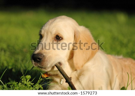 very cute young purebred labrador dog stock photo 609920390 shutterstock. Black Bedroom Furniture Sets. Home Design Ideas