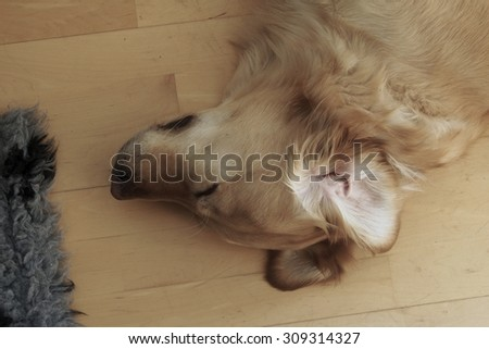 Golden Retriever sleeping at home