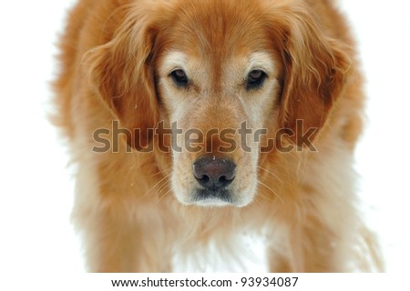Golden Retriever With an Alert Expression