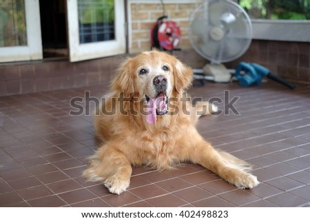 Golden Retrievers long tongue.