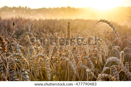 golden wheat field against blue sky as texture, long short big small golden wheat as background, high quality resolution