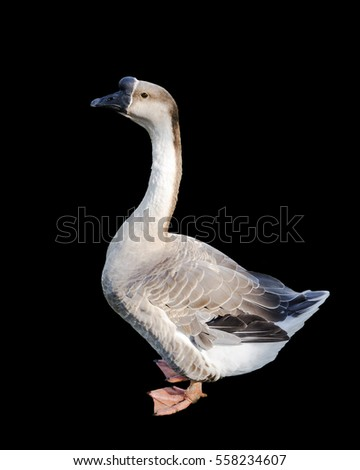 goose isolated on a black background