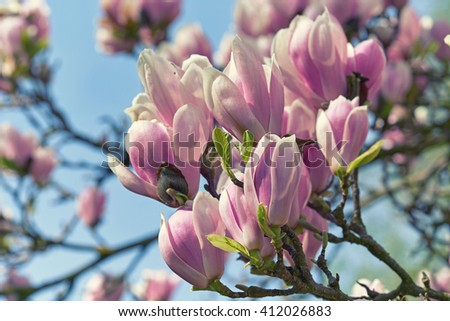 Gorgeous beauty of Magnolia blooming in Spring