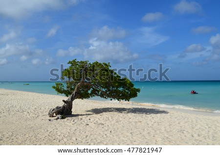 Gorgeous divi divi tree on Eagle Beach in Aruba with blue skies and white sand!