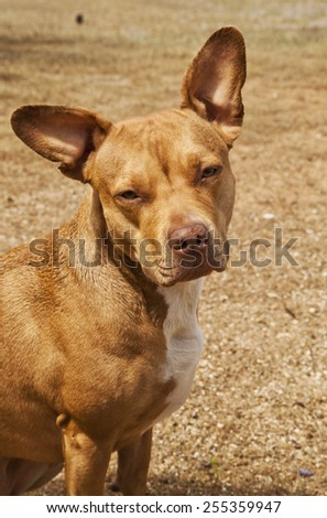 Gorgeous Red colored pit bull mix dog looking away in front of dry grass background.