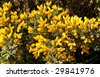 Gorse bush in the sunshine, flowers and prickles - stock photo
