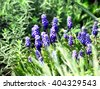 Grape Hyacinth. Daffodil flowers - stock photo