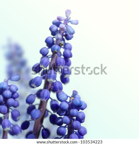 grape hyacinth on a white background