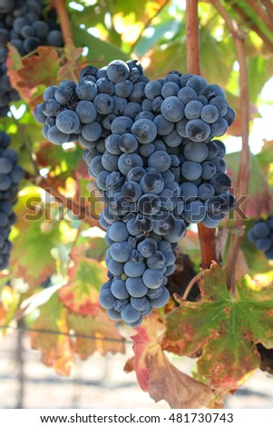 Grapes for Wine on a Vine