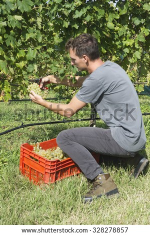 Grapes Harvesting in Venice VENICE, ITALY - SEPTEMBER 9, 2015: An unidentified vineyard worker picking wine grapes during the annual harvest