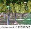 Grapes in a Wine vineyard in Apulia in the south of Italy - stock photo
