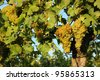 Grapes in the vineyard - stock photo